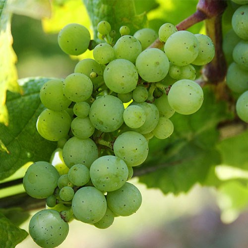 Green Grapes on a vine